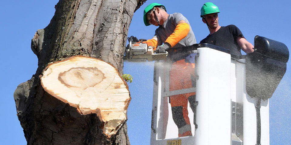 Two men in a bucket truck chain sawing a large tree